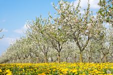 Free Orchard  In Spring Royalty Free Stock Photography - 19229407