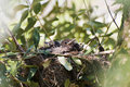 Free Couples Of New Born Blackbirds Royalty Free Stock Image - 19230136