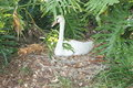 Free Swan In The Shade Stock Photography - 19237402