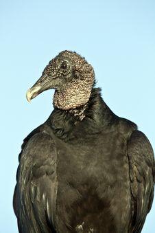 Free Black Vulture (Coragyps Atratus) Stock Photos - 19231183