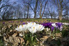 Crocus Flowers Royalty Free Stock Photo