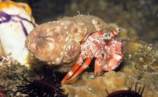 Anemone Hermit Crab Royalty Free Stock Photography