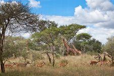 Giraffes And Impala Stock Photography