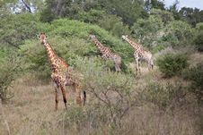 Three Giraffe Royalty Free Stock Images