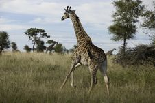Free Running Giraffe Royalty Free Stock Photography - 19234637