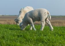 Two Lambs Grazing Royalty Free Stock Images