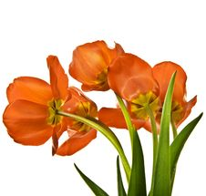 Free Red Tulips Royalty Free Stock Images - 19234979
