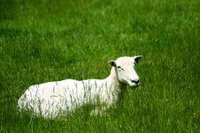 Free A Sheep Royalty Free Stock Photos - 19235948
