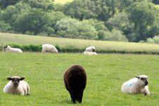 Free A Black Sheep Royalty Free Stock Image - 19235956