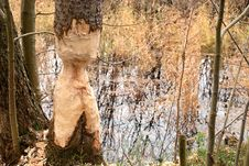 Free Thinged, Bited Tree By The Beaver. Stock Images - 19238104