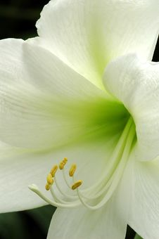 Free White Lilly Royalty Free Stock Photos - 19238688