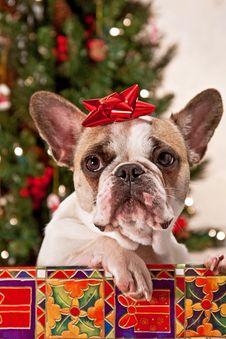 Free Christmas French Bulldog Stock Photography - 19239102