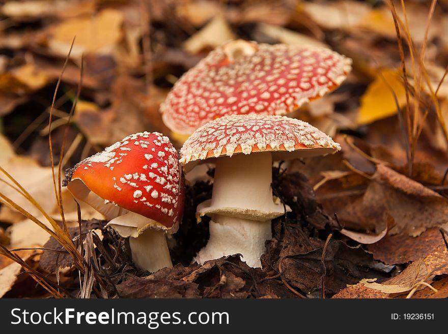 Three red mushrooms (toadstool)