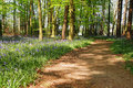 Free Spring Bluebells In An English Beech Wood Royalty Free Stock Images - 19245179