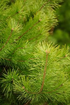 Free Young Green Pine Branches Stock Photo - 19240700