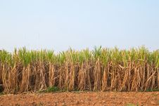 Free Plant Of Sugarcane And Blue Sky Stock Image - 19242731