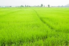 Free Green Young Rice In Paddy Field Royalty Free Stock Photo - 19242765