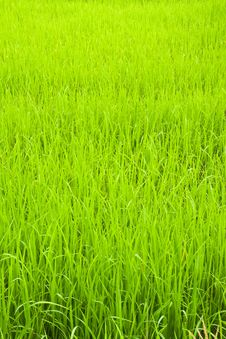 Free Green Young Rice In Paddy Field Royalty Free Stock Photos - 19242808
