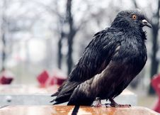 Free Wet Pigeon Royalty Free Stock Image - 19242846