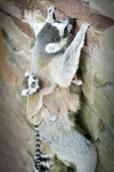 Free Mother And Baby Ring-tailed Lemur Royalty Free Stock Image - 19243226