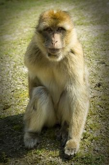 Free Barbary Ape Royalty Free Stock Image - 19243246