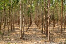Free Eucalyptus Forest In Thailand Royalty Free Stock Photos - 19243348