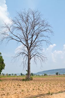 Dead Big Tree In Farm Stock Images