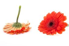 Free Gerbera With Drops Of Water Royalty Free Stock Photography - 19243577