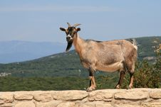 Free Goat On Stone Wall With Scenic Outlook Royalty Free Stock Photo - 19244365