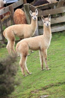 Free Two Brown Lamas Royalty Free Stock Image - 19244556