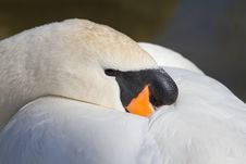 Free Mute Swan (Cygnus Olor) Sleeping Stock Images - 19245514
