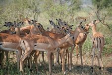 Free Impalas Grazing Stock Images - 19245814