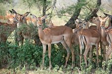 Free Impalas Grazing Royalty Free Stock Image - 19245816