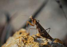 Free Praying Mantis Stock Photo - 19246770