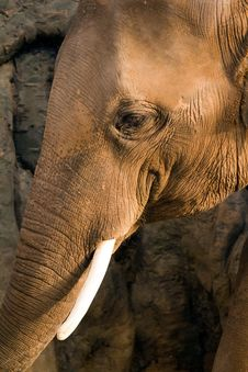 Free Elephant Royalty Free Stock Photography - 19246887