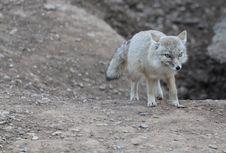 White Fox Stock Images