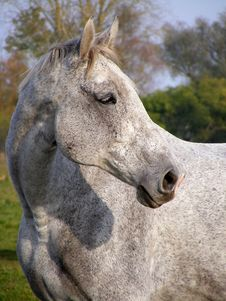 Free Gray Horse Portrait Royalty Free Stock Image - 19248546