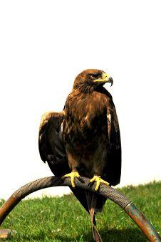 Free Bird Of Prey Royalty Free Stock Photography - 19249957