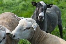 Heads Of Sheep Stock Images