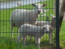 Sheep And Lambs Behind A Fence Royalty Free Stock Photography
