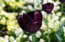 Tulips Blacks Stock Images