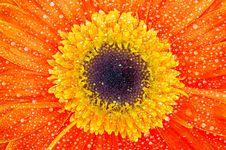 Free Gerbera Flower Royalty Free Stock Photos - 19254288