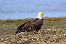 Free American Bald Eagle Stock Photos - 19257673