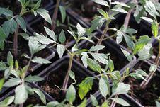 Free Tomato Seedings Stock Image - 19259761