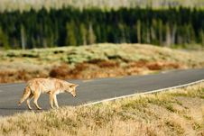Free Coyote Hunting From Road Stock Photos - 19260603