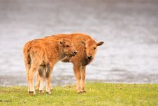 Free Bison Calves Royalty Free Stock Image - 19260616
