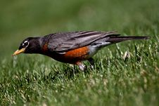 Free Hunting Robin Stock Photo - 19260670