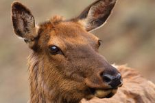 Cow Elk Up Close Royalty Free Stock Photo
