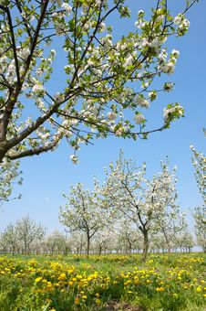 Free Orchard  In Spring Royalty Free Stock Photos - 19261978