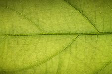 Free Texture Of A Tropical Green Leaf Stock Image - 19262811
